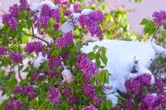Lillà di Bloomng dopo le precipitazioni nevose di una molla un giorno soleggiato Fotografia Stock Libera da Diritti