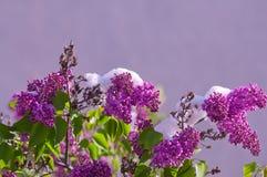 Lillà di fioritura dopo le precipitazioni nevose di una molla un giorno soleggiato Fotografia Stock