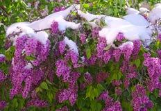 Lillà di fioritura dopo le precipitazioni nevose di una molla un giorno soleggiato Fotografia Stock Libera da Diritti