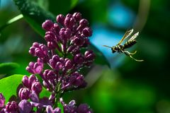 Lillà e vespa in volo Fotografia Stock