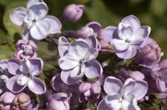 Lillà in fioritura Fotografia Stock Libera da Diritti