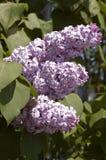 Lillà in fioritura Immagine Stock