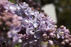 Lillà in fioritura Immagini Stock Libere da Diritti