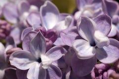 Lillà in fioritura Fotografie Stock Libere da Diritti