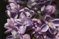 Lillà in fioritura Immagine Stock Libera da Diritti