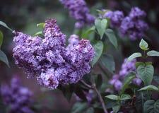 Lillà, giardino botanico di Brooklyn Fotografie Stock Libere da Diritti