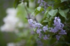 Lillà in giardino floreale Immagini Stock Libere da Diritti