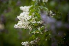 Lillà in giardino floreale Immagine Stock