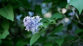 Lillà in un parco della molla - un ramo del lillà nei raggi del tramonto fotografia stock libera da diritti