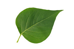 Lillà verde del foglio su priorità bassa bianca Immagini Stock