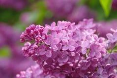 Lillà viola di fioritura durante la molla fotografie stock libere da diritti