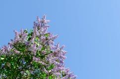 Lill? di fioritura contro il cielo blu Il risveglio della natura Concetto della sorgente Copi lo spazio fotografie stock libere da diritti