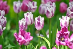 Lill? un giorno soleggiato su un fondo verde Rem di variet? del tulipano favoriti immagine stock