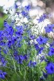 lilla blåa blommor Royaltyfri Fotografi