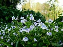Lilla blåa blommor i en park royaltyfria bilder