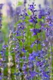 Lilla blåa blommor i en park Royaltyfria Foton