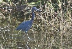 Lilla blåa Haron, sydvästliga Florida royaltyfri foto