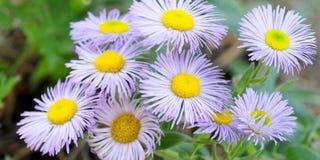 Lilla blommor Royaltyfri Bild