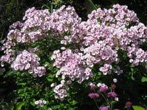 Lilla blommor Arkivfoto