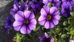 Lilla-Blumen Stockbilder