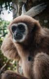 Lilla bruna Gibbon, Koh Samui, Thailand Fotografering för Bildbyråer