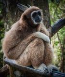 Lilla bruna Gibbon, Koh Samui, Thailand Arkivbilder