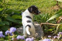 Lilla charmiga Jack Russell 7,5 gamla gamla för veckor Ung hundvalp som står utomhus- i trädgården i sommar fotografering för bildbyråer