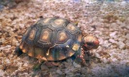 Lilla Cherry Head Red Foot Turtle arkivbilder
