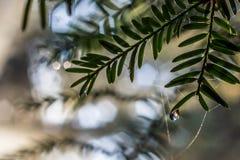 Lilla droppen av dagg på barrträdsidor visar solen som starburst royaltyfri bild
