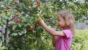 Lilla flickan äter körsbärsröda bär för plockning upp från trädet arkivfilmer