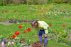 Lilla flickan beundrar tulpan i en vårträdgård royaltyfri foto
