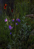 Lilla garden campanula flowers Stock Photos