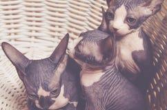 Lilla Gray Sphynx Kitten Inside korgen Royaltyfria Bilder