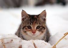 Lilla Grey Kitten i snö arkivfoton
