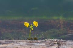 Lilla gulingblommor Royaltyfri Foto