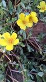 Lilla gulingblommor Arkivbild