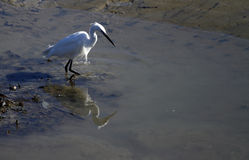lilla gyttjig landremsa för egret Royaltyfri Fotografi