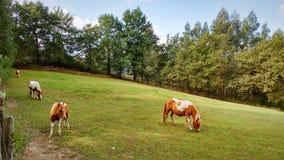 Lilla hästar Arkivbilder