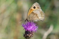 Lilla Heath Butterfly (den Coenonympha pamphilusen) arkivfoton