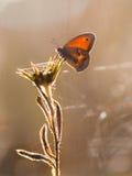 Lilla Heath Butterfly (den Coenonympha pamphilusen) Backlit vid morgon Royaltyfri Bild