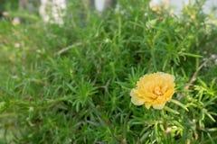 Lilla Hogweed eller Pusley i ljus lighintträdgård Arkivfoton