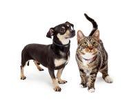 Lilla hund och Cat Looking Up Together Fotografering för Bildbyråer