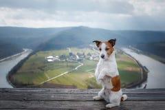 Lilla Jack Russell på klippablickarna på floden Hund med sikt av naturhusdjuret på semestern, tur, sund livsstil royaltyfri fotografi