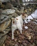 Lilla Jack Russell Terrier arkivfoton