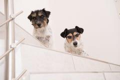 Lilla Jack Russell Terrier som hundkapplöpningen är, sitter på trappa och blickar framåtriktat royaltyfria bilder