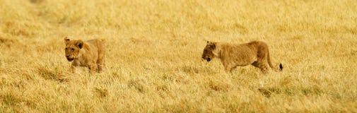 Lilla Lion Cubs Fotografering för Bildbyråer