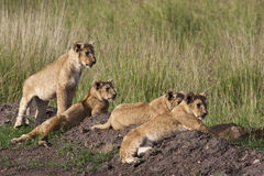 Lilla Lion Cubs Royaltyfri Fotografi