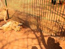 Lilla Lion Cubs Royaltyfri Bild