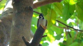 Lilla Maya Birds Royaltyfri Bild