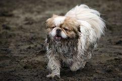 Lilla Muddy Dog på stranden Royaltyfri Foto